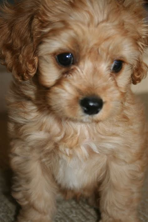 cavoodle puppies lilyfield introducing our cavoodle