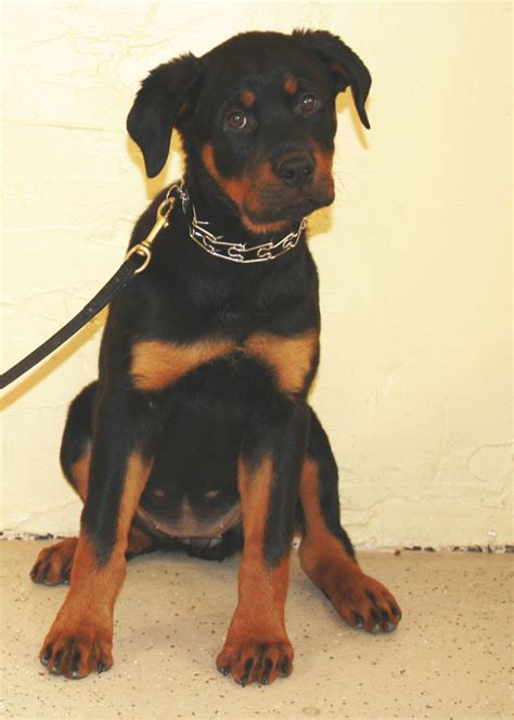 trained rottweiler for sale mafia rottweiler puppy s best friend