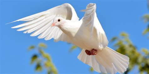 where can you buy white doves the best dove 2017