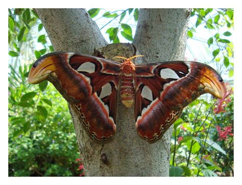 Big Butterfly really big butterfly by lukasb86 on deviantart