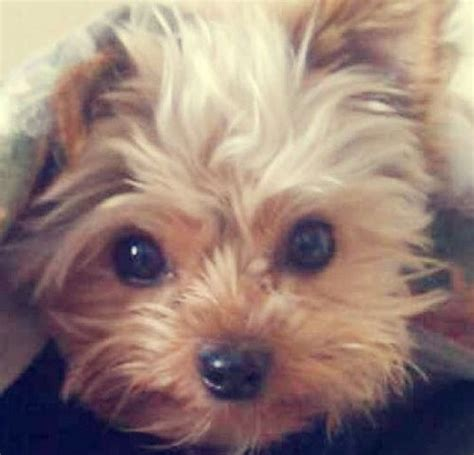 want to breed my yorkie pet s name totoro breed terrier why totoro should win totoro is the