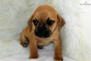 Cute puggle puppies get notified when new puppies