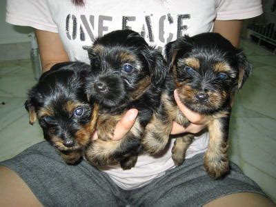 2 month yorkie terrier yorkie puppies sold 2 months terrier puppies from