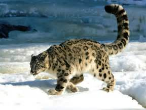 Snow leopards the snow leopard is a moderately large cat native to the
