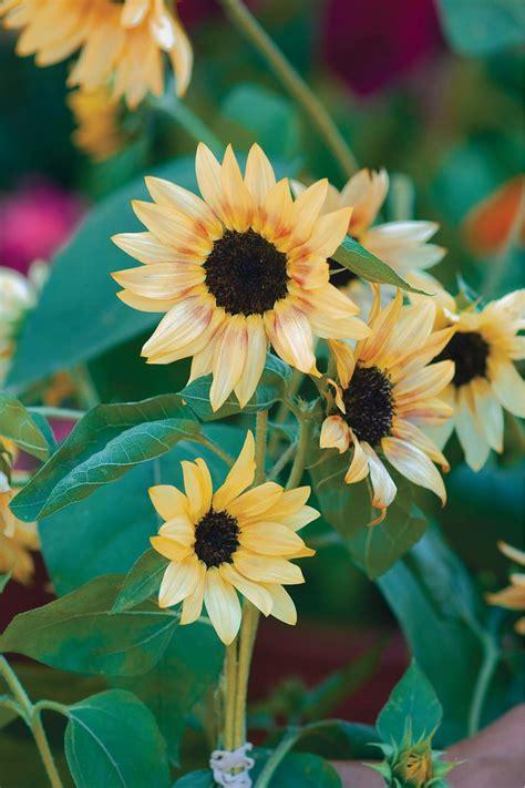 big  small sunflower varieties  sunflower
