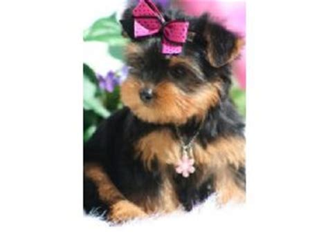 tiny teacup yorkie puppies for sale in alabama puppies in alabama