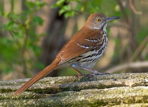 brown thrashers leaf dusting mimics tallahassee com