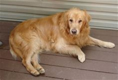 golden retriever hip dysplasia 1000 images about adoptable golden retrievers on golden retriever rescue