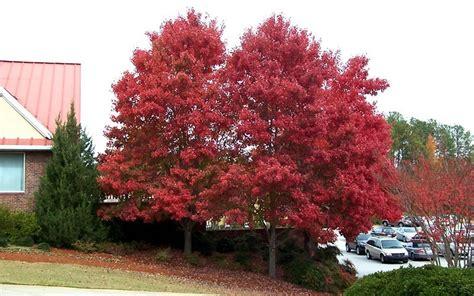 15 gallon maple tree autumn blaze maple 15 gallon tree trees