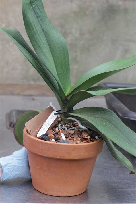 repotting phalaenopsis moth other monopodial orchids