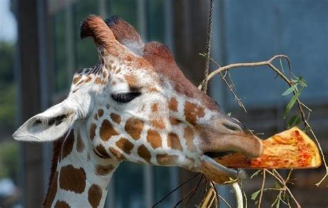 what color is a giraffe s tongue we all eat pizza giraffes eat pizza it s tongue is