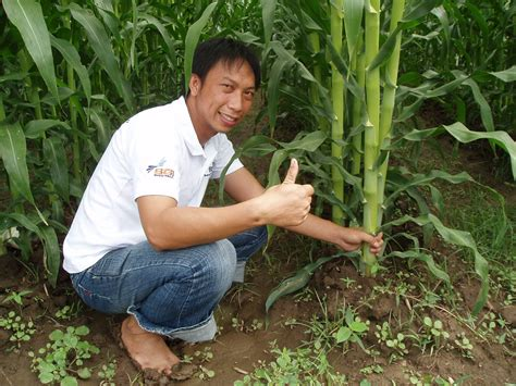 Pupuk Majemuk Untuk Jagung inovasi tanam jagung rapat menghasilkan produksi tinggi