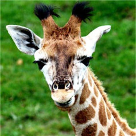 imagenes de jirafas sacando la lengua 191 qu 233 longitud tiene la lengua de una jirafa saberia