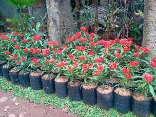 Pohon Asoka Merah jual pohon asoka king tanaman hias bunga merah cocok untuk taman rumah anda tukang taman