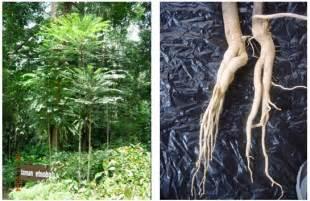 Pasak Bumi Akar Kilo An Tongkat Ali membekal menjual akar dan anak benih tongkat ali al fahani