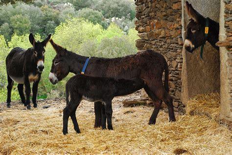 burro animal miranda