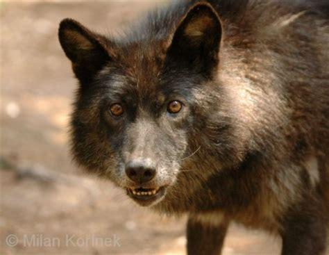 alaskan wolf wolves of the world interior alaskan wolf canis lupus pambasileus
