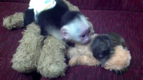 puppy monkey baby doll for sale buy a pet monkey cheap dogs in our photo