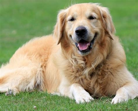 what breed is a golden retriever the golden retriever breed standard golden retriever friends