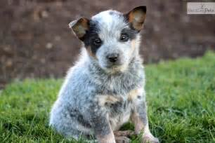 For sale blue heeler dogs for sale in alabama uploaded by