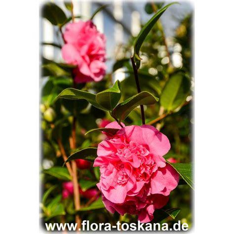 Stauden Als Sichtschutz 2964 by Camellia Japonica Debbie Kamelie Flora Toskana