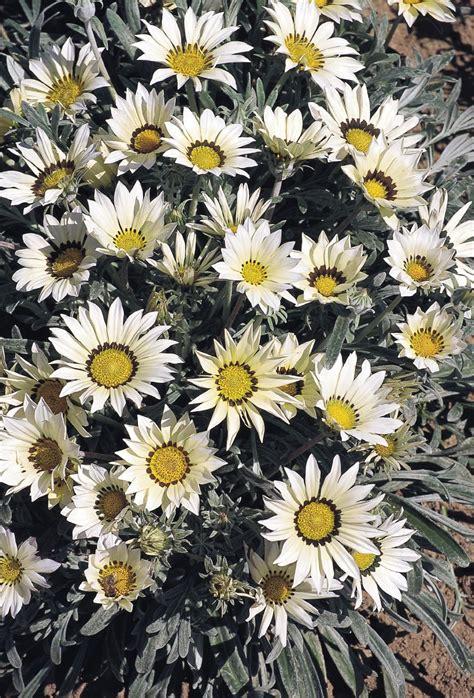 Flowering Patio Plants by Gazania Rigens Talent 174 White Annual Benary