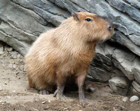 guinea pig care cfieldspetcare