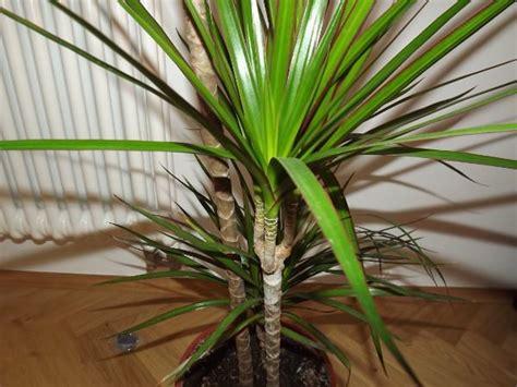 Große Zimmerpflanzen Wenig Licht by Pflegeleichte Zimmerpflanzen 18 Vorschl 228 Ge Archzine Net