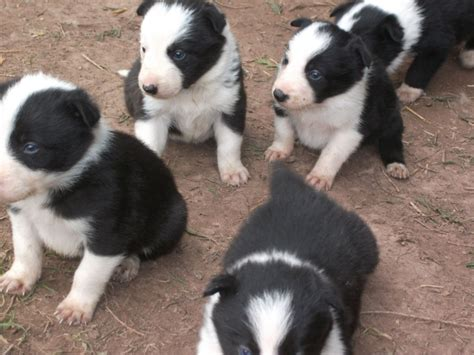 border collie puppies for sale puppies for sale sign image search results breeds