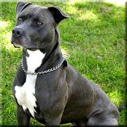 Pit Bull Terrier Shedding by American Pit Bull Terrier Doginfo411