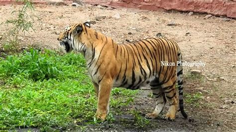 wildlife nikon p900 fileld test photography with tiger