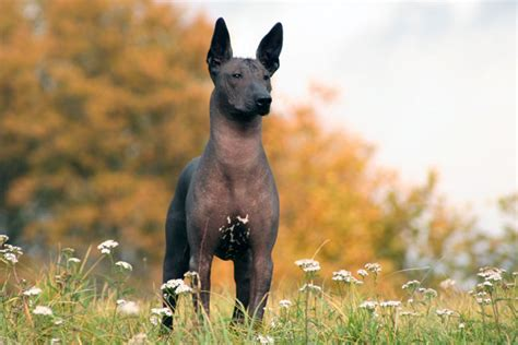 xoloitzcuintli puppies xoloitzcuintli puppies for sale from reputable breeders