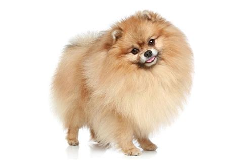 pomeranian large breed pomeranian breed profile dogchannel auto design tech