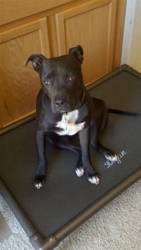 dog beds for pitbulls pit bull dog beds kuranda dog beds