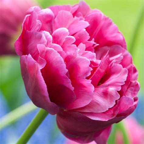 buy double early tulip bulbs tulipa margarita