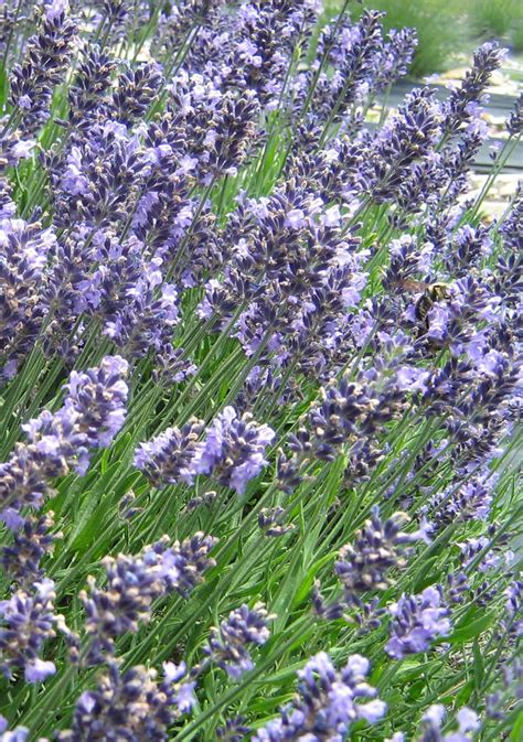 17 best images about lavender on pinterest growing lavender lavender oil and cuttings