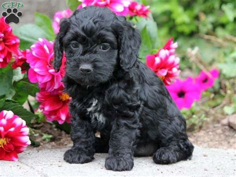 teacup cockapoo puppies for sale best 25 cockapoo puppies for sale ideas on cockapoo pups for sale