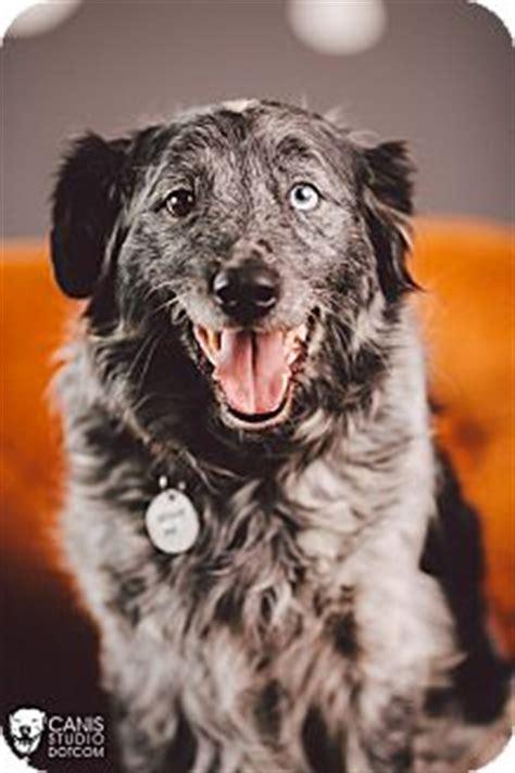 australian setter dog pepper adopted dog portland or australian shepherd