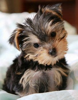 smallest yorkie breed 25 best ideas about small dogs for sale on small puppies for sale cutest