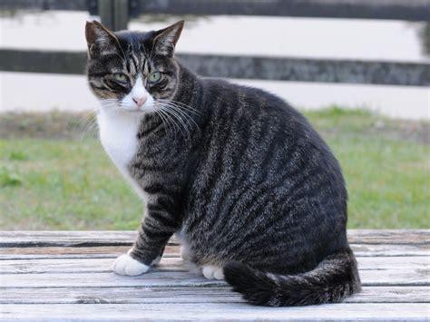 tabby cat wikipedia tiedosto dark mackerel tabby cat in a park hisashi 01a jpg