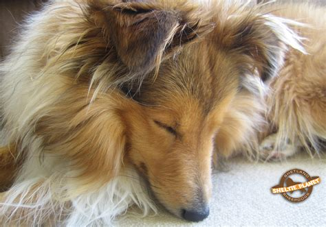 free sheltie puppies sheltie puppies wallpaper www pixshark images galleries with a bite