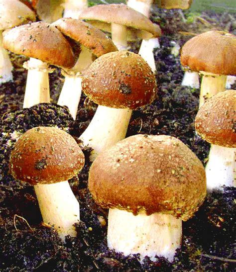 Weißer Pilz Im Garten Essbar by Garten Pilze Braunkappen Set 1a Qualit 228 T Baldur Garten