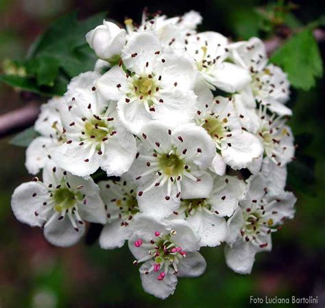 biancospino fiori biancospino ciappycardellino