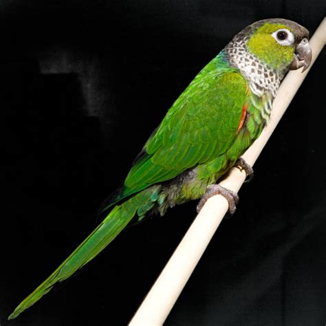 black capped conure facts pet care behavior price pictures singing wings aviary