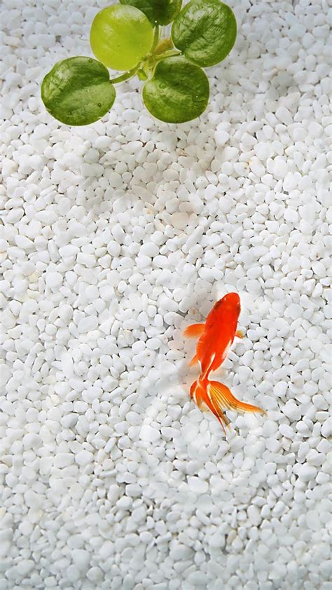 wallpaper for iphone fish download orange fish white stone aquarium iphone 6 plus hd