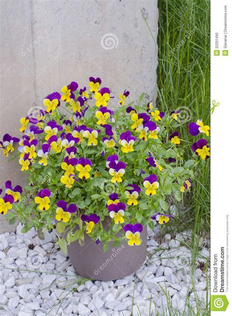 viole in vaso viole pensiero nel vaso fotografia stock immagine