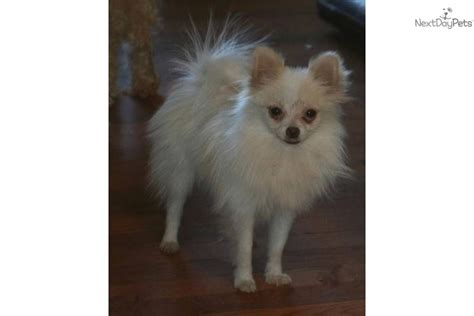 3 pound pomeranian pomeranian puppy for sale near grand island nebraska 6f0e3f81 5731