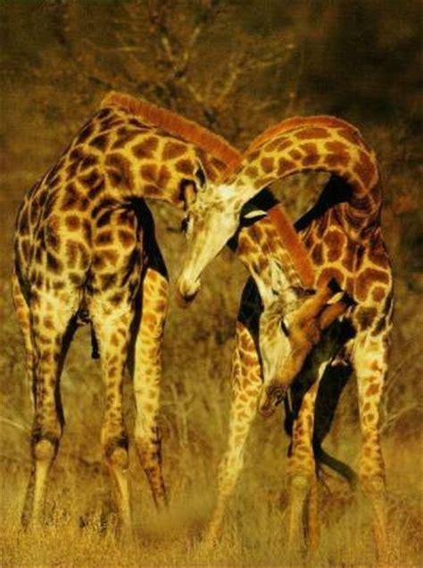 imagenes de jirafas tumblr jirafapedia 187 jirafas enciclopedia especializada