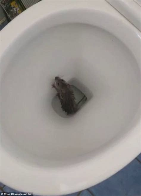 mr bean toilet pictures show nsw man try to flush rat down a toilet but