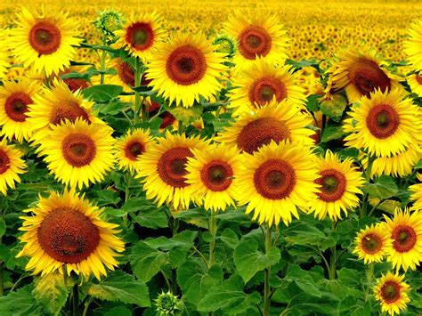 imagenes hermosas girasoles curiosidades con girasoles todo con las flores decorar